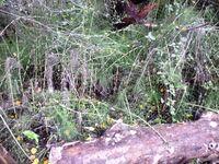 Equisetum telmateia in Kibbutz Hagoshrim B