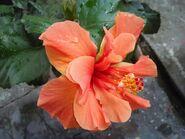 Orange Hibiscus1