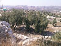 Olive from Kedumim