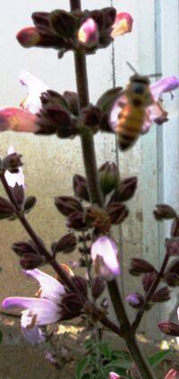 Salvia fruticosa B