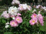 Rosa Celsiana 1
