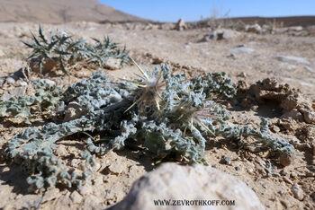 דרדר מצרי מכתש רמון