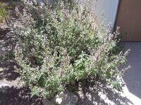 Origanum syriacum Rhashi Hill Kdumim b