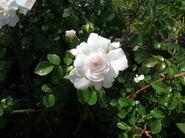 Rosa Domenica