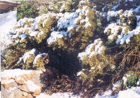 Snow a kdumim 1