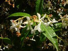 Trachelospermum jasminoides from Puglia 03