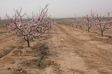 Prunus dulcis Arad valley Israel 09