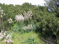Urginea from Sardegnia 1