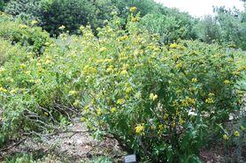 Botanic garden phlomis viscosa