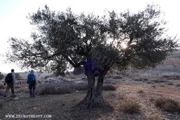 זית בואדי אל ג'ינן ליד בית חורון