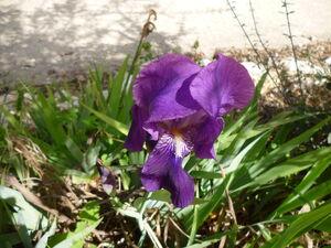 Iris germanica 2013.jpg