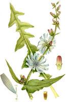 Cichorium intybus cikoria