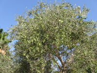 Olive view nearer 2
