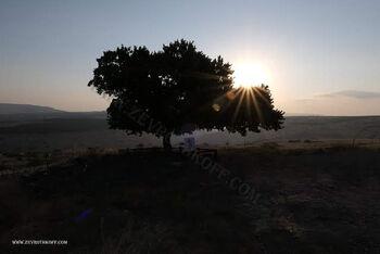 עץ גולני יבניאל