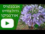אגפנטוס - גידול צמח - אורגניקו