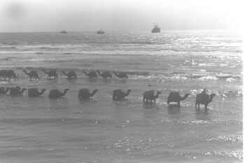 """JEWISH CAMEL DRIVER, MEMBER OF THE """"ZIFZIF"""" CO-OP,LEADING HIS CARAVAN THROUGH THE SHALLOW WATERS AT THE TEL AVIV SEA SHORE. שיירת גמלים בתוך הים להובלD21-115"""