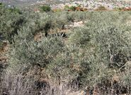 Olives tree from kedumim 1