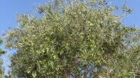 Olives tree from kedumim 5