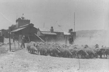 THE SHEPHERD OF KIBBUTZ TIRAT ZVI TAKING HIS FLOCKOF SHEEP TO PASTURE. קיבוץ טירת צבי בעמק הירדן. בצילום, רועה הצאן של הקיבוץ רועה את מרעו.