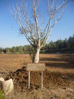 Ficus sycomorus neot kedumim 2