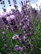 2007-06-16 Lavendel