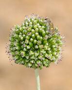 Allium dictyoprasum 1