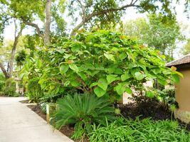 Ficus roxburghi