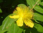 Orto Botanico di Pisa Caltha palustris 02