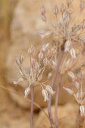 Allium desertorum 1