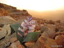 זמזומית המדבר מצפה רמון