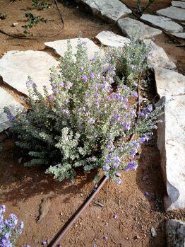 Leucophyllum rhashi kdumim 03