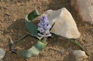 Bellevalia desertorum 1