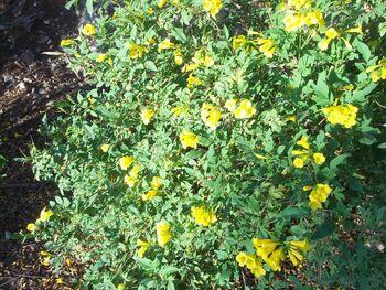 Tecoma capensis full