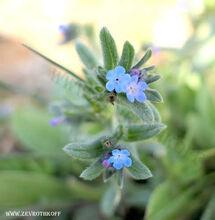גלעינית זעירת-פרחים