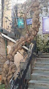 נחום סיון גזע עץ תאנה ב חצר התאנה בצפת
