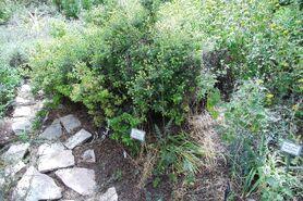 Botanic garden Cistus salviifolius
