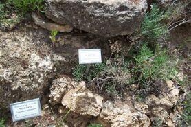 Botanic garden Crithmum maritimum