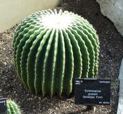 Echinocactus grusonii spineless form
