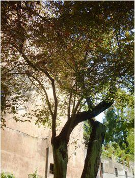 Prunus cerasifera 1