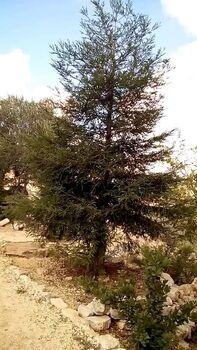 ארז הלבנון קדומים 99
