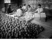 Orange fruits petach tikva 1926 b