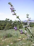 Salvia indica 1