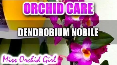 Orchid_Care_-_Dendrobium_Comet_King_Akatsuki