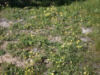פרחי קדומים 022