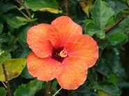 Starr 070313-5691 Hibiscus rosa-sinensis