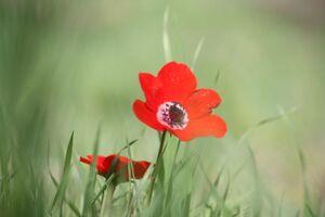 Anemone coronaria bot garden jer 2