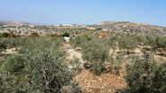 Olives tree from kedumim 2