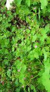 Geranium rotundifolium1
