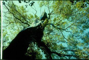 Mahogony tree