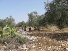 Olive Picking a Kedumim 5
